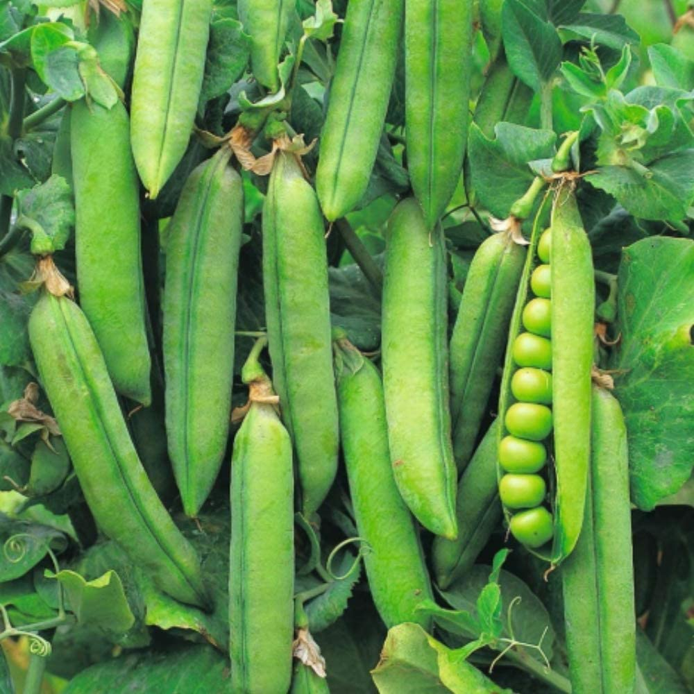 Organic Vegetable Seeds Pea Seeds First Early Dwarf Pea Sugar Hardy Perennial Tomasa Seedhouse