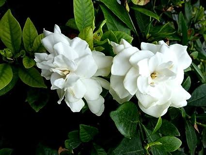 Amazon 2 live plants gardenia bush cape jasmine white flower 2 live plants gardenia bush cape jasmine white flower shrub landscaping starter mightylinksfo