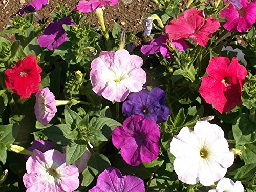 Dwarf Petunia Mix Seeds Pink Purple Red and White Flowers Bin229 (500 Seeds)