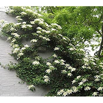 Amazon.com : Climbing Hydrangea Vine - Live Plant - Trade Gallon Pot ...