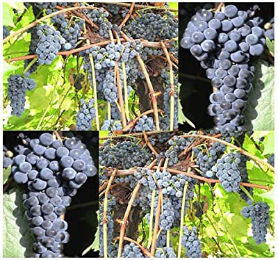 10 x Riverbank Grape - Vitis riparia - Vine Seeds - Fragrant Flowering Vine - HARDIEST SPECIES Known Excellent For Jellies & Wine Making - COLD Hardy Zones 3 - 9 - By MySeeds.Co