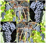 buy 10 x Riverbank Grape - Vitis riparia - Vine Seeds - Fragrant Flowering Vine - HARDIEST SPECIES Known Excellent For Jellies & Wine Making - COLD Hardy Zones 3 - 9 - By MySeeds.Co now, new 2018-2017 bestseller, review and Photo, best price $4.78