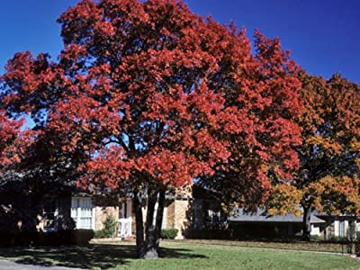 Quercus shumardii Shumard Red Oak Tree Acorns exotic bonsai wood seed 10 seeds