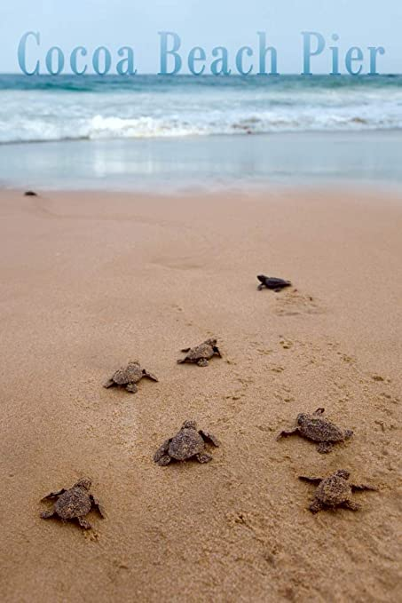Cocoa Beach Pier >> Amazon Com Cocoa Beach Pier Florida Sea Turtles Hatching 12x18