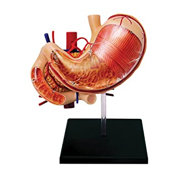 Amazon 4d Human Anatomy Stomach And Other Organs Toys Games
