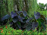 1 Large Elephant Ear ''Black Magic'' -Colocasia esculenta- Add the tropics