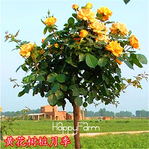 Genuine Mustard Seed - New Lowest Price!100 SEEDS - Genuine Fresh Rare Rosa Chinensis Dendroidal ROSE Flower Tree Seeds,#4N4O7F Mustard
