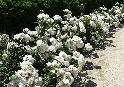 Icy White Drift Groundcover Rose - Live Plant - Full Gallon Pot by New Life Nursery & Garden (Image #2)