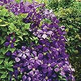 Van Zyverden Jackmanii Clematis Plant (Set of 1), Lavender