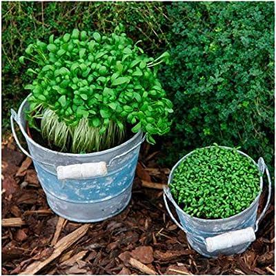 KOUYE GardenSeeds-100 pcs Watercress Vegetable Seeds Organic Cress Seed Hardy Perennial Bonsai Vegetable Seeds Always Fresh Garden cress : Garden & Outdoor