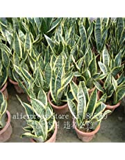 50pcs high quality Sansevieria seeds indoor plants Radiation Protection Bonsai seeds Very easy grow Foliage Plants
