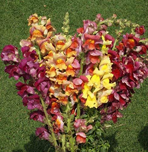 Snapdragon Giant Tetra Mix Seeds Stunning Colors bin205 (4,000 Seeds)