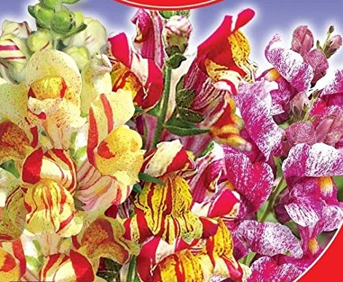 Antirrhinum majus (snapdragon) Tutti Frutti Flower Seeds from Ukraine