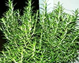 Tuscan Blue Rosemary - Live Herb Plant