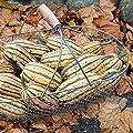 Honeyboat Delicata Winter Squash - Certified Organic Seeds