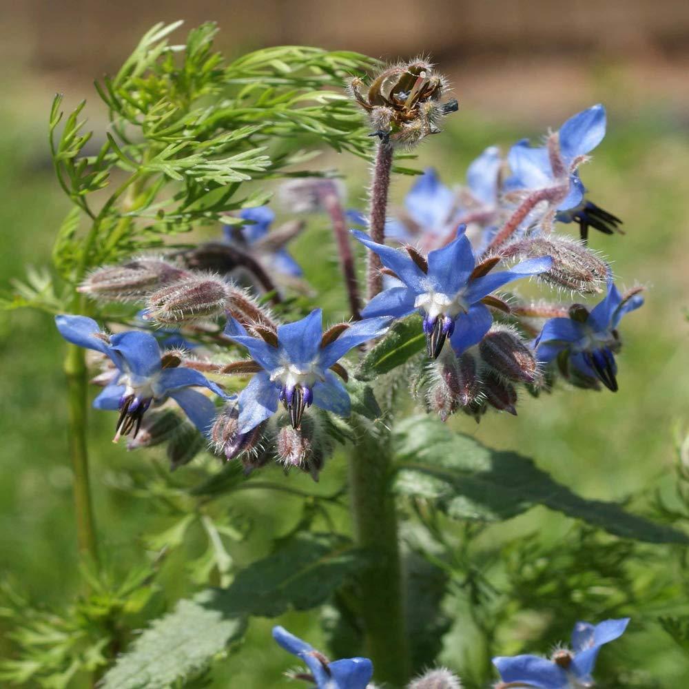 Outsidepride Borage Plant Flower Seed - 1 LB