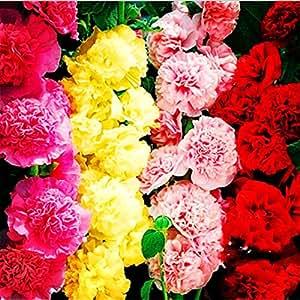 100 semillas PC calientes Malva (Alcea Rosea 'Nigra') semillas de las plantas al aire libre flor color mezclado para el jardín de embellecimiento de decoración 1