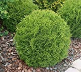 Little Giant Dwarf Globe Arborvitae ( Thuja ) - Live Plant - Trade Gallon Pot