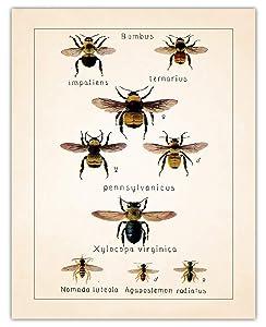 Vintage Bees Wall Art Print - (11x14) Photo Unframed Make Great Room Wall Decor Gift Idea Under $15