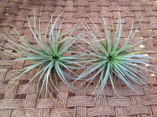 Airplants Tillandsia Stricta Houston Dark Pink 2 Pack (Grown and Shipped From California)