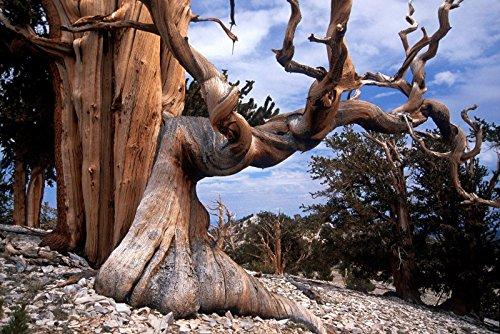 Tree Pine Bonsai White (Japanese White Pine, Pinus parviflora, Tree Seeds (Bonsai, Fragrant Evergreen))