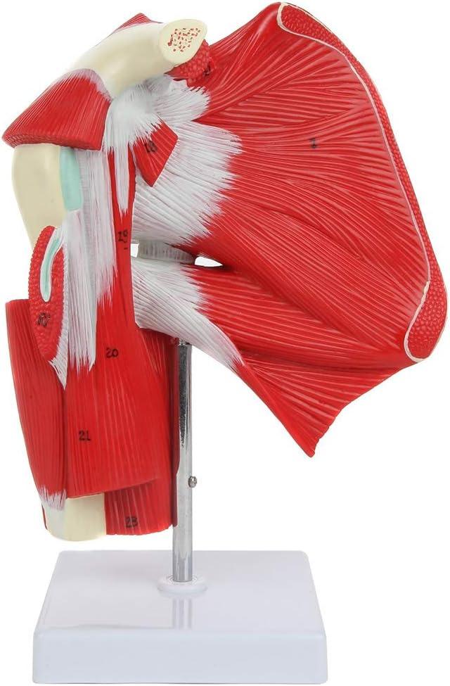 El Modelo De Anatomía De La Articulación, Hombro Musculoso Muestra La Musculatura Completa del Hombro Desde El Manguito Rotador hasta Los Músculos Subescapulares, para La Enseñanza Médica