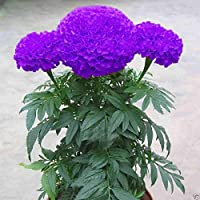 Catterpillar Farm Purple Blue Marigold 35 Seeds,Exotic Flower Seeds