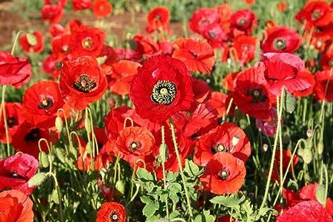 Indian Shirly Poppy Red Flower Seedsv By Splendour Seeds Amazon