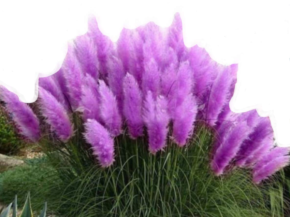 Purple pampas grass (Cortaderia selloana) ornamental grass / 50 seeds / colourful flower heads in violet/pink