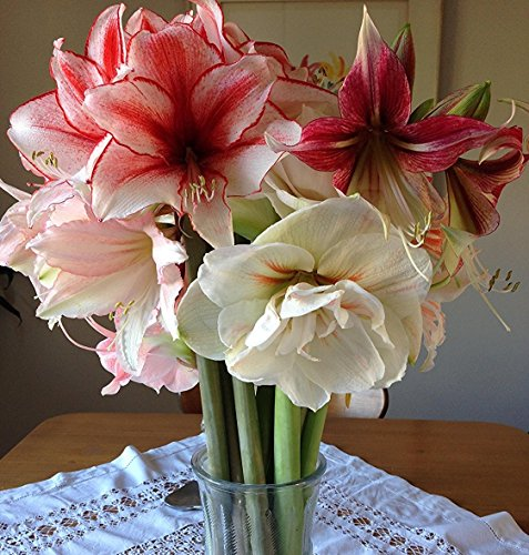 Red, Pink and White Amaryllis Jingle Bells Mix Collection - 3 Premium Amaryllis Bulbs | Ships from Easy to Grow TM (Collection Bulbs 3)