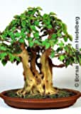 Tropica - Bonsai - Bobaum / Bodhibaum (Ficus religiosa) - 200 semi