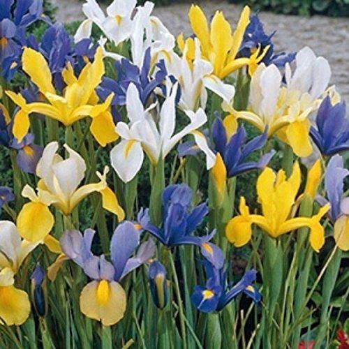 25 Dutch Iris Mix bulbs, Summer Sky - shipping !