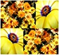 4 Packs x 1000 African Daisy Seed - Dimorphotheca sinuata - African Daisy Flower Seeds - BRILLIANT ORANGE YELLOW COLOR - Highly Drought Resistant - By MySeeds.Co