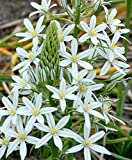 Ornithogalum- 'Sochi' (5 bulbs) is a rare star-of-Bethlehem with star shaped glistening white flowers.