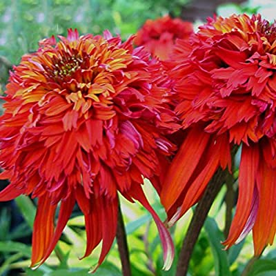 Best Garden Seeds Rare Imported 'Hot Papaya' Red Echinacea Coneflowers With Double Petals, 100 Seeds, Deer Resistant Perennial