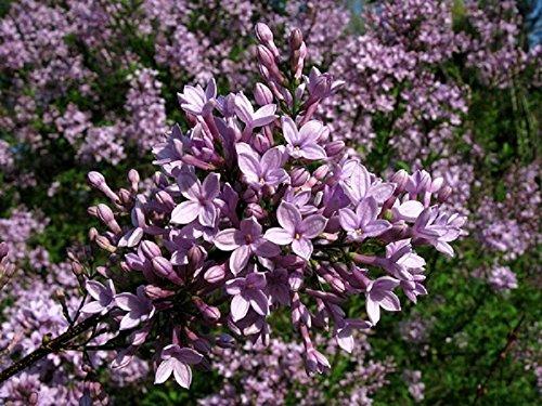 Cut Leaf Lilac - SYRINGA X LACINIATA - CUT LEAF LILAC - - FRAGRANT - STARTER PLANT