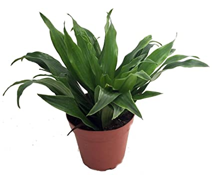 Amazon.com : Janet Craig Dragon Tree- Dracaena fragrans - 3.5