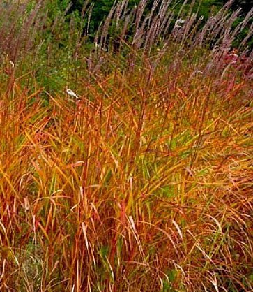 Amazon miscanthus purpurascens perennial ornamental grass miscanthus purpurascens perennial ornamental grass potted plant workwithnaturefo