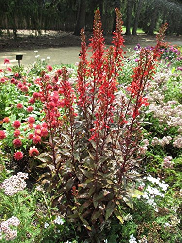 LOBELIA 'STARSHIP SCARLET' -STARTER PLANT