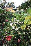 5 Bulb of Crinum x. Powellii Album - Cape Coast Lily, River Lily