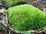 Moss Acre's Live Fresh Rock Cap Mood Moss for Terrariums, Vivarium, Fairy Gardens, Bonsai (Dicranum)