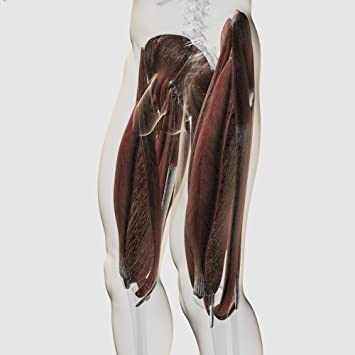 Amazon Male Muscle Anatomy Of The Human Legs Side View Poster