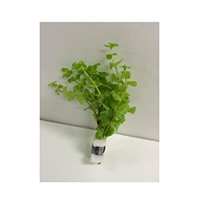 Live Fresh Water Aquatic Plant lysimachia nummularia 'Aurea' Bundle b129 Plants Tropical 1 pcs: Pet Supplies
