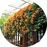 Top Garden Seeds LLC Rare Chinese Orange Pyrostegia venusta Perennial Climbing Plant Seeds, Professional Pack, 5 Seeds / Pack, Very Beautiful Garden