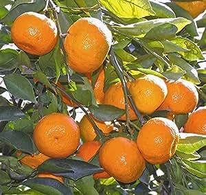 Amazon.com: Satsuma - Árbol de fruta real vivo para plantas ...