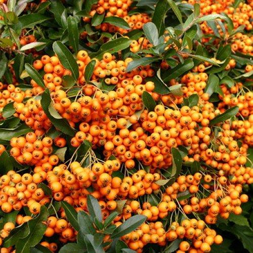 1 X PYRACANTHA 'ORANGE GLOW' EVERGREEN SHRUB HARDY GARDEN PLANT IN POT GDUK