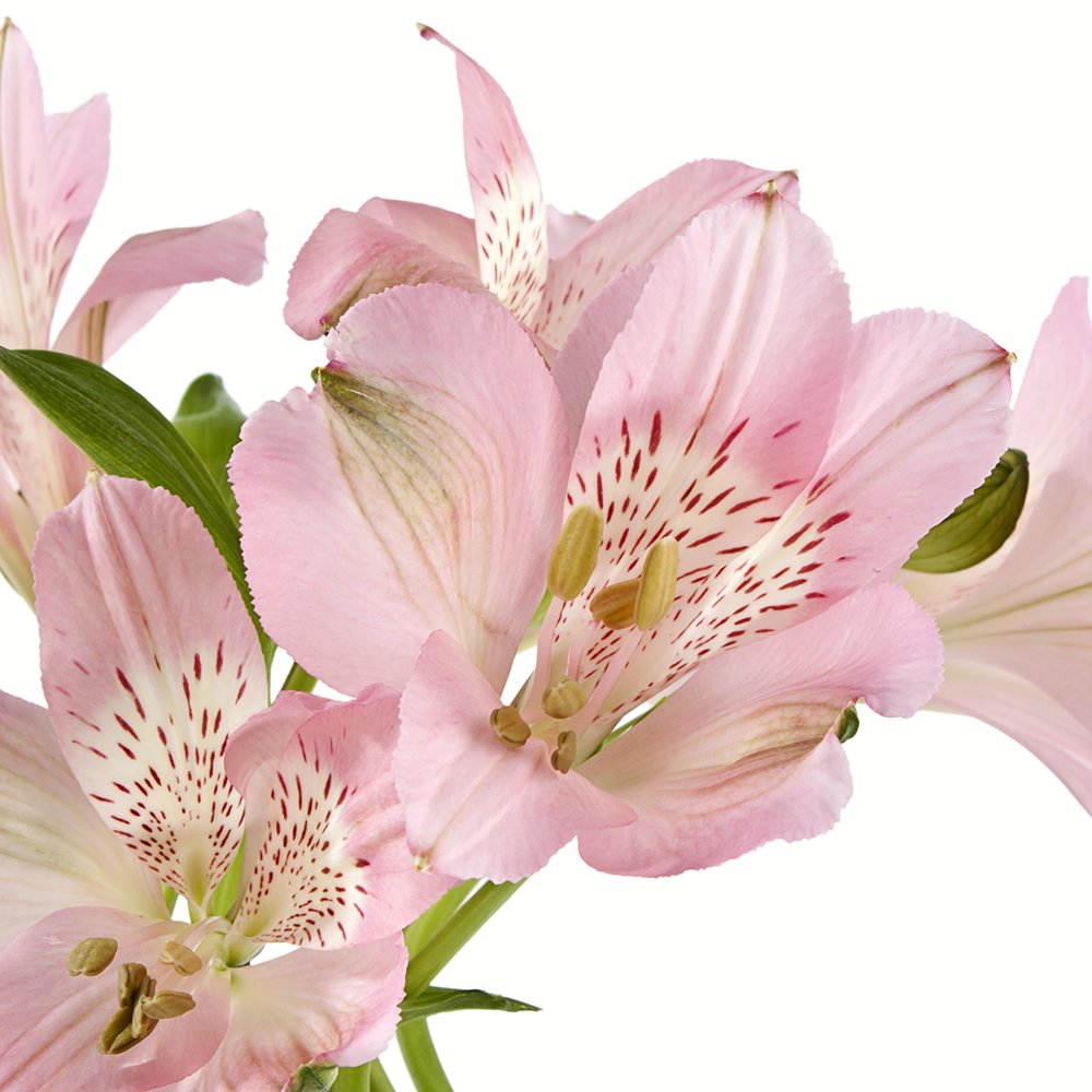eFlowy - 80 Light Pink Alstroemerias - Peruvian Lilies Wholesale by eFlowy