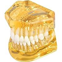 Dental - Herramientas de enseñanza de dientes desmontables