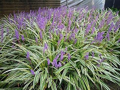 Monkey Grass 10 Seeds - Liriope Muscari - Ornamental Grass Seeds - Shade Perennial !