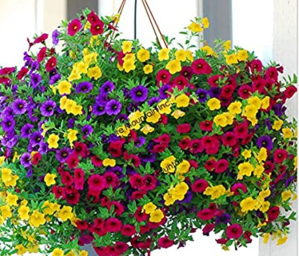 Amazon Com Heirloom Hanging Petunia Mixed Seeds Professional Pack